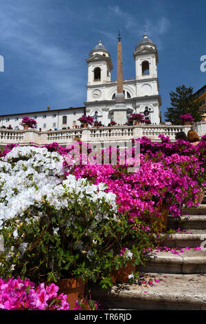 Rhododendron (Rhododendron spec.), place d'espagne à piazza di spagna avec église Trinita dei Monti, l'Italie, Rome Banque D'Images