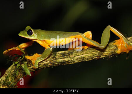 Parapente, deltaplane Rainette Grenouille Agalychnis spurrelli (feuilles), Costa Rica Banque D'Images