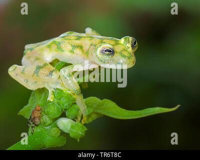 Glaskikker, Fleischmann's Glass Frog, Hyalinobatrachium fleischm (Hyalinobatrachium fleischmanni), Costa Rica Banque D'Images