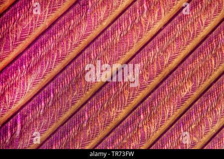 Plume d'oiseau, polarisé-light microscope, Allemagne Banque D'Images