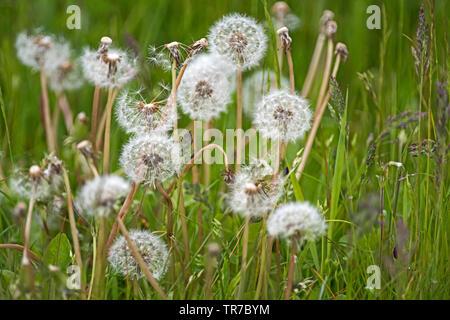 Close up of spherical white, le pissenlit, Taraxacum officinale, horloges dans une prairie sauvage en mai dans la région de Angus, Scotland, UK.