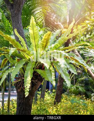 Vert feuilles de fougère nid d'oiseau de plus en plus de plantes tropicales sur l'arbre du jardin parc d'été / Asplenium nidus