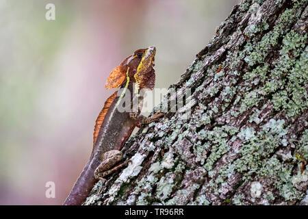 Brown Basilisk a.k.a Jésus Christ lizard Banque D'Images