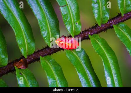 La feuille rouge sur une branche dans le sous-bois de la cloudforest de parc national La Amistad, hautes terres de l'ouest, province de Chiriqui, Republivc du Panama. Banque D'Images