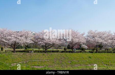 Avis de cerisiers alignés dans un parc près de la rivière Banque D'Images