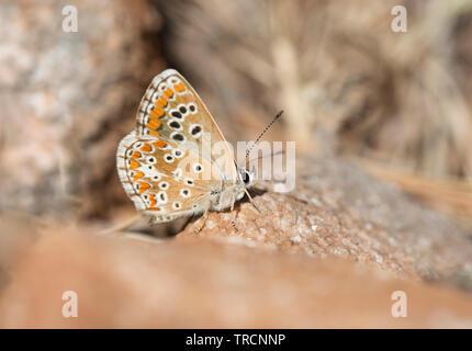 Le sud de l'argus brun, Aricia cramera, papillon, Andalousie, espagne.