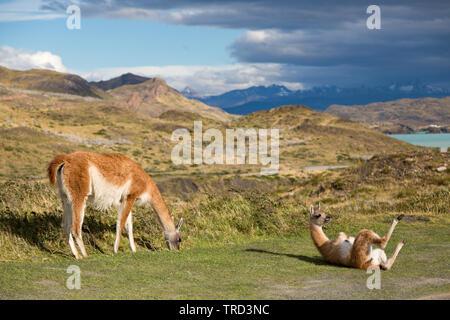 Cobourg sur l'herbe dans le parc national Torres del Paine, Patagonie, Chili