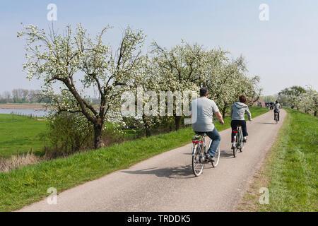 Couple à vélo le long de la floraison des arbres à fleurs, la Betuwe aux Pays-Bas, Gueldre, Betuwe Banque D'Images