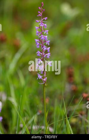 Orchidée parfumée (Gymnadenia conopsea), la floraison, Allemagne, Bavière, Oberbayern, Haute-Bavière Banque D'Images