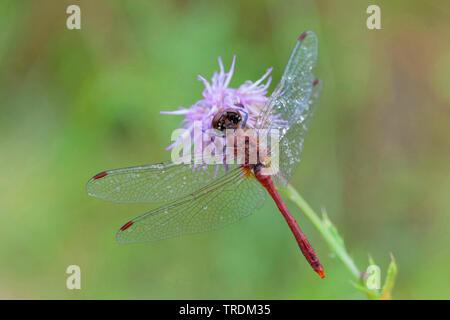 Ruddy, sympetrum Sympetrum sanguineum Ruddy (dard), homme assis sur une plante, l'Allemagne, la Bavière
