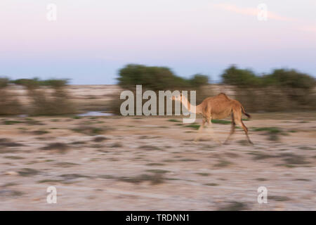 Un dromadaire, chameau (Camelus dromedarius), fonctionnant en désert à Al Mughsayl, Oman Banque D'Images