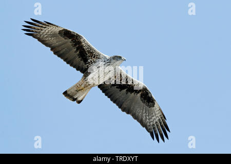 Bonellis Hieraaetus fasciatus, aigle (Aquila fasciata), mâle adulte, Oman, Dhofar Banque D'Images