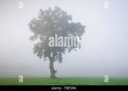 Chêne dans morning mist, Suisse Banque D'Images