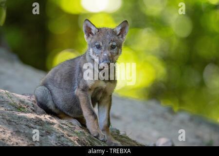 Le loup gris d'Europe (Canis lupus lupus), louveteaux assis, Finlande Banque D'Images