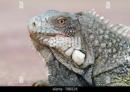 Iguane vert, Iguana iguana iguana (commune), sur la plage, Curacao