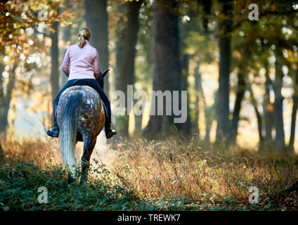 Cheval Espagnol pur, andalou. Rider sur gris pommelé des profils marcher dans une forêt en automne. Allemagne