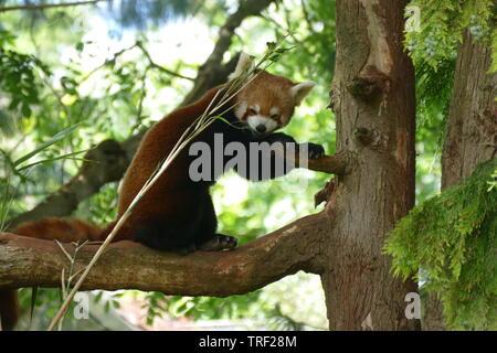 Le panda rouge manger dans un arbre bambou Banque D'Images