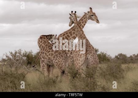 """Groupe de la famille des girafes photographiés en monochrome chez Kruger parc du safari en Afrique du Sud."""" Banque D'Images"""