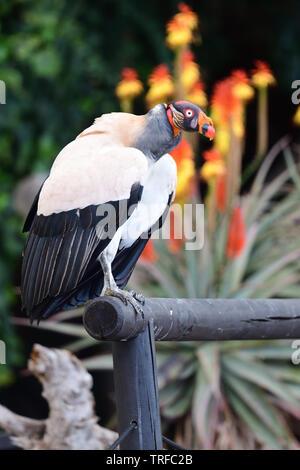 Portrait d'un vautour pape (Sarcoramphus papa) perché sur une rampe en bois Banque D'Images