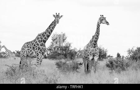 La tête et le cou de deux girafes sur fond blanc, photographié en monochrome chez Kruger parc du safari en Afrique du Sud. Banque D'Images