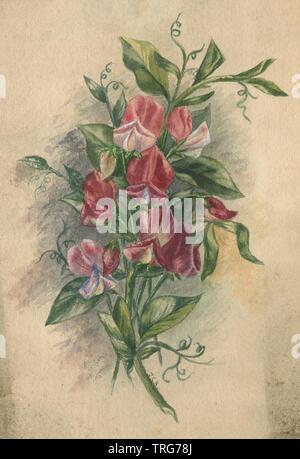 C1890 aquarelle antique de pois de senteur (Lathyrus odoratus) Fleurs et feuilles. SOURCE: TABLEAU ORIGINAL Banque D'Images