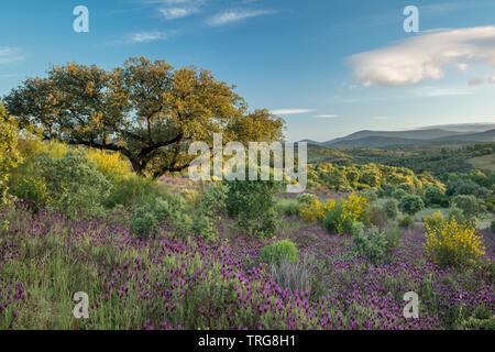 Les couleurs de début de l'été dans les domaines de la Beira Baixa, près de Penamacor, Castelo Branco, Portugal Banque D'Images