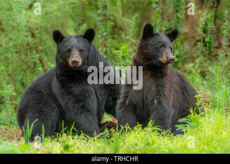 Paire de l'ours noir (Ursus americanus), des bois, est des États-Unis, par Bill Lea/Dembinsky Assoc Photo