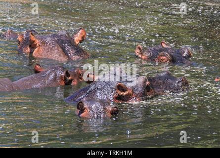 Cinq d'hippopotame, Hippopotamus amphibius hippopotame, tête hors de l'eau rivière Mara, réserve de Masai Mara, Kenya, Afrique. Cheveux noirs d'hippopotames sur les oreilles Banque D'Images