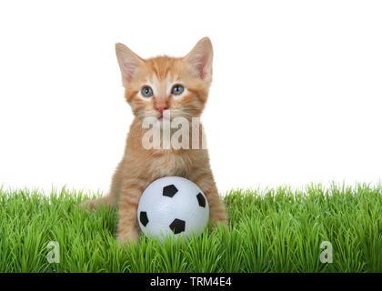 Orange tabby kitten assis dans l'herbe verte avec mini-ballon de soccer, à gauche jusqu'à spectateurs. Isolé sur fond blanc. Singeries animales, Sports