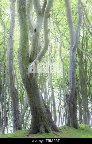 Un règlement pacifique en hêtre ancienne forêt dans le Northumberland, en Angleterre. Banque D'Images