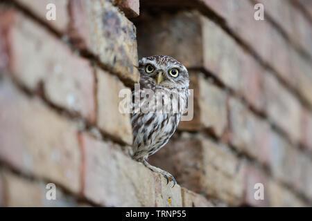 Chouette chevêche (Athene noctua) à la recherche d'un trou dans un mur de briques