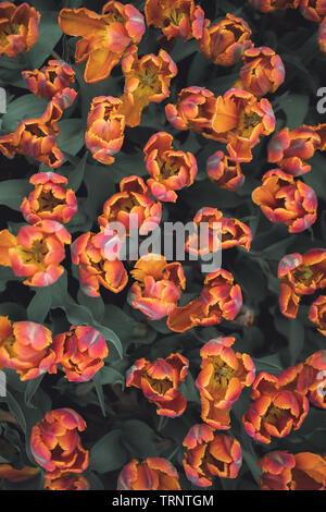 Un passage tiré d'un lit de tulipes de couleur rose-orange à un festival des tulipes en Iowa au printemps. Le temps des tulipes, le Festival annuel de Pella, Iowa. Banque D'Images