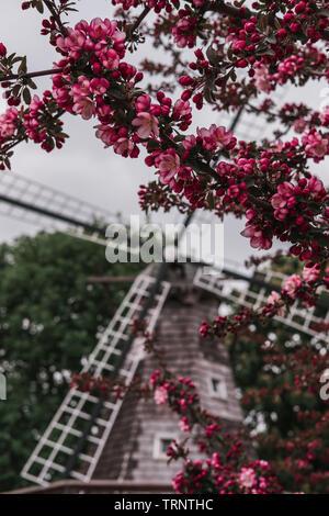 Branches d'un pommier en fleurs rose en face de moulin à vent hollandais floue des lames avec un ciel couvert à une tulipe Time Festival de Pella, Iowa. Banque D'Images