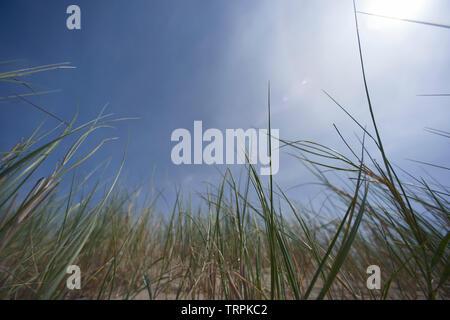 Low angle de roseaux vert frais dans le vent dans le soleil d'été Banque D'Images