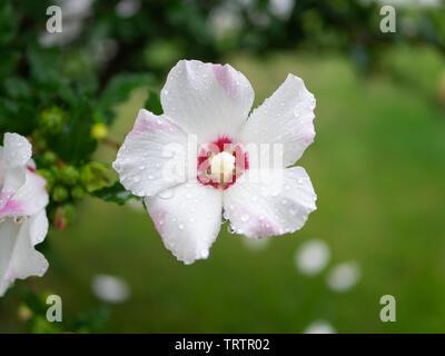 Single White Rose de Sharon fleurs frais matin après la pluie, avec des gouttes d'eau sur les pétales parfait Banque D'Images