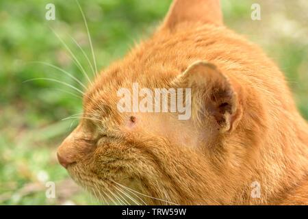 Qui se nourrit d'une tique chat rouge, Close up