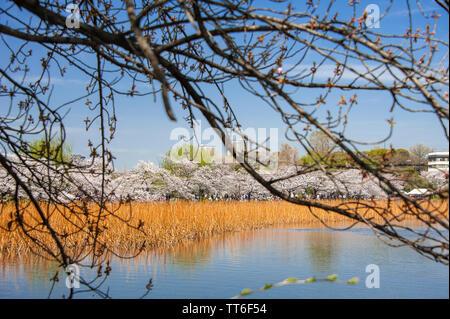 Nature paysage coloré avec Cerisiers et ville contexte au cours du printemps. Le parc Ueno, Tokyo Banque D'Images