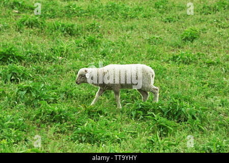 Cute lamb grazing in meadow Banque D'Images