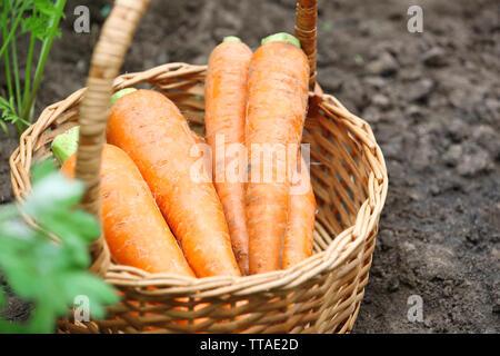Panier en osier de nouvelles carottes fraîches dans le jardin Banque D'Images