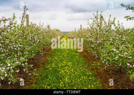Apple Tree Orchard vue aérienne