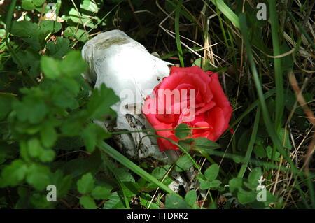 Crâne et Rose. Banque D'Images