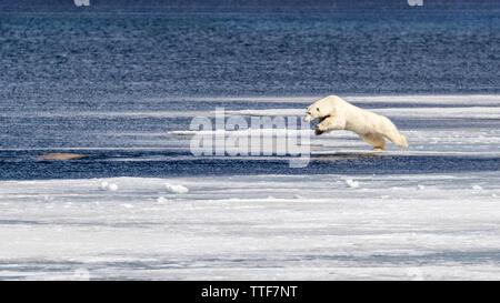 Jeune et inexpérimenté tente de prendre l'ours polaire sur un jeune béluga au bord de la banquise dans le Svalbard, un archipel norvégien entre main Banque D'Images