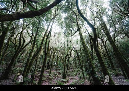 Vue tranquille sur la mousse des arbres dans la forêt, le Parc National de Garajonay