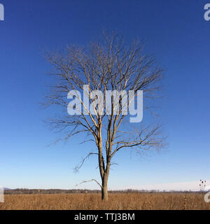 Arbre nu sur terrain contre ciel bleu clair Banque D'Images
