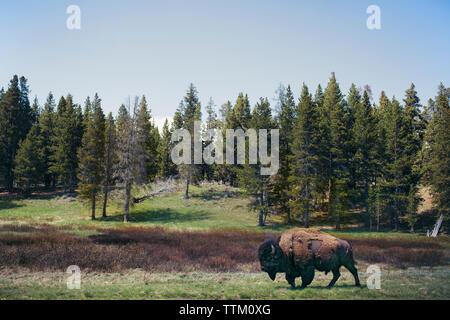 Balades de bison sur les champs contre des arbres au Parc National de Yellowstone