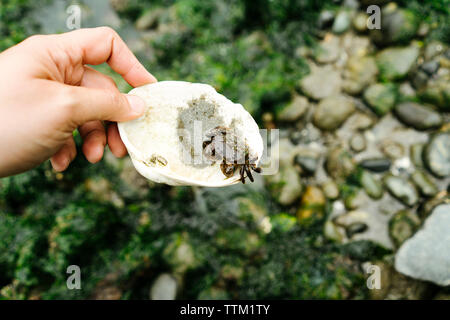 Cropped hand of man holding seashell avec crabe beach Banque D'Images