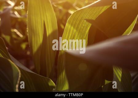 Récolte de maïs maïs vert feuilles dans le coucher du soleil, près des plantes poussant dans champ cultivé Banque D'Images
