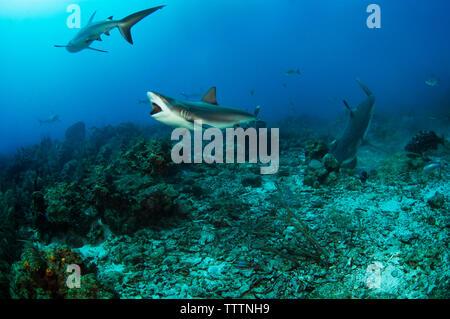 Les requins nager sous l'eau Banque D'Images