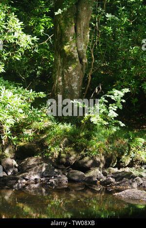 Hêtre tronc de l'arbre sur la rive de la rivière Dart à Hembury Woods sur une fin d'après-midi d'été. Ashburton, Dartmoor, Devon, UK. Banque D'Images