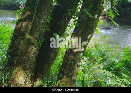 Des troncs de platane sur la rive de la rivière Dart à Hembury Woods sur une fin d'après-midi d'été. Ashburton, Dartmoor, Devon, UK. Banque D'Images